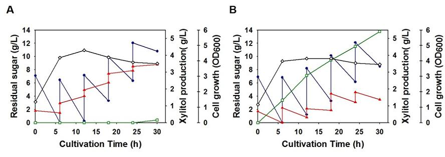 일반 대장균(A)에서는 자일리톨이 거의 만들어지지 않지만 인공 미생물(B)에서는 자일리톨이 잘 만들어졌다.