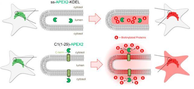 단백질 표시(labeling) 방법 비교. 별 모양으로 보이는 것이 세포, 별 속에서 채색된 부분이 소포체다. 위쪽은 특정 단백질이 소포체 막 안쪽에만 있을 경우이고, 아래쪽은 단백질이 막 안쪽에만 있지 않고 걸쳐 있거나 바깥에 있는 경우다. 과산화효소를 촉매로 바이오틴을 붙였으므로 각 위치가 쉽게 구별된다.