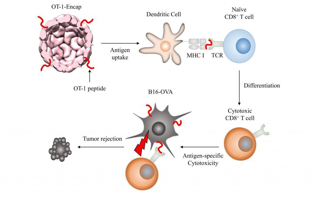 단백질 나노입자인 인캡슐이에 항원을 붙여서 수지상세포로 전달하면 미분화된 T세포를 '맞춤형 항제'로 만들 수 있다.