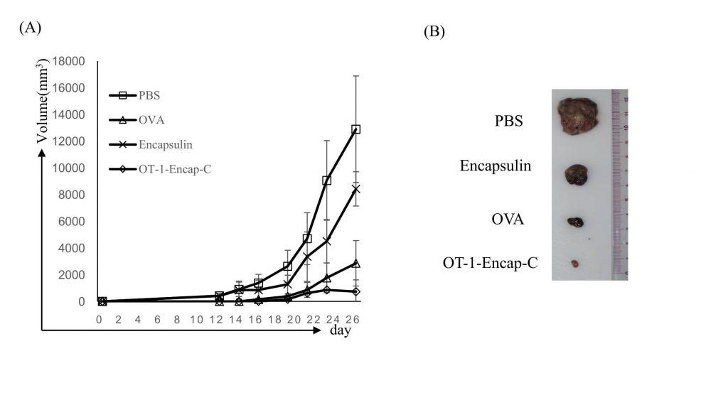 흑색종양에 무처리(PBS), 인캡슐린 처리(Encapsulin), 항원 단백질 처리(OVA), 인캡슐린에 항원 단백질 결합 처리(OT-1-Encap-C)한 결과를 비교한 모습. 종양 크기는 무처리, 인캡슐린, 항원 단백질, 인캡슐린+항원 단백질 순으로 작아졌다. 인캡슐린 전달체로 항원을 수지상세포에 전달할 때 종양 억제 효과가 가장 크다.