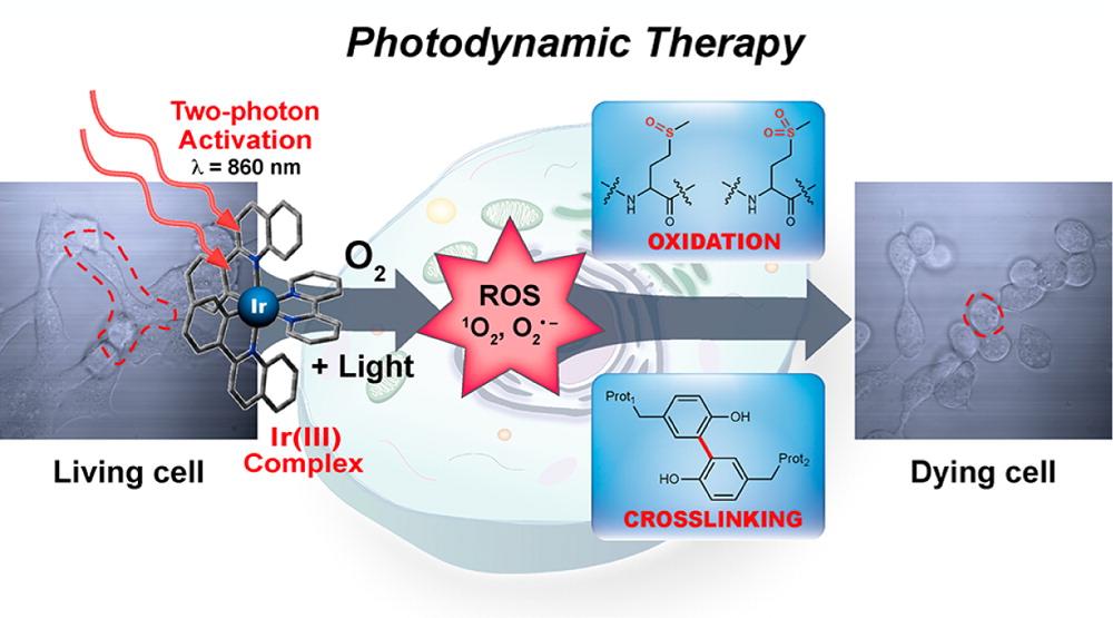 빛에 반응하는 이리듐 복합체를 이용해 암세포를 사멸시키는 과정을 나타낸 그림. 이번에 만든 이리듐 복합체는 두 개의 광자를 이용할 수 있어 적외선을 활용한 빛 치료도 가능하다.