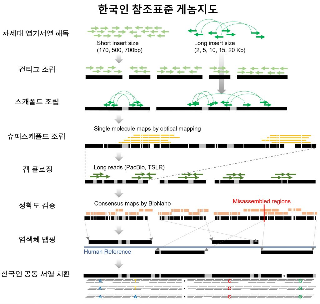 '코레프'(KOREF)는20~69세 성인 남녀 41명의 혈액에서 얻은 유전 정보를 그 동안의 한국인 유전정보와 합쳐 만든 것이다.