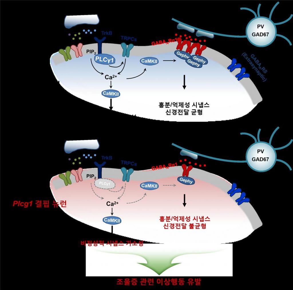 전뇌 흥분성 뉴런에서 신호전달 핵심 단백질인 PLCγ1이 결핍되면, BDNF에 의한 신호전달이 제대로 이뤄지지 않기 때문에 결과적으로 흥분/억제성 시냅스 신경전달 불균형과 시냅스 가소성 조절 문제를 유발해 조울증과 같은 정신질환을 유발할 수 있다.