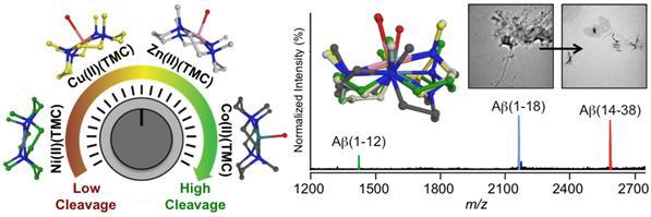 중심원자의 종류에 따라 아밀로이드-베타 단백질의 가수분해 정도를 조절하는 금속 착물(M(II)(TMC))의 구조(왼쪽)와 가장 효과적인 코발트 착물(Co(II)(TMC))에 의한 아밀로이드 베타의 분해 결과(오른쪽).