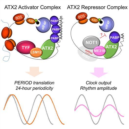 임 교수팀이 찾아낸 어택신-투 단백질 복합체의 모습과 기능. 엘엠에스-트웰브는 하루를 24시간으로 인식하도록 만들고, 엠이써티원비는 생체시계가 꾸준히 작동하도록 에너지를 주는 시계태엽 같은 역할을 한다.