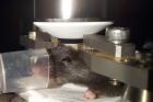 연구그림-살아있는-쥐의-뇌-속을-관찰하는-장면.jpg