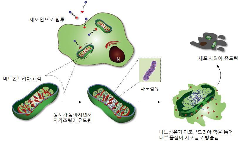 펩타이드 분자가 미토콘드리아를 표적으로 삼고, 그 안에 쌓이면 펩타이드 농도가 높아지면서 분자들이 자기조립하게 된다. 자기조립된 나노섬유구조는 미토콘드리아의 막을 뚫어 구멍을 만들고, 이때 미토콘드리아 안에 단백질이 세포질로 방출이 되면서 세포 사멸이 유도된다.