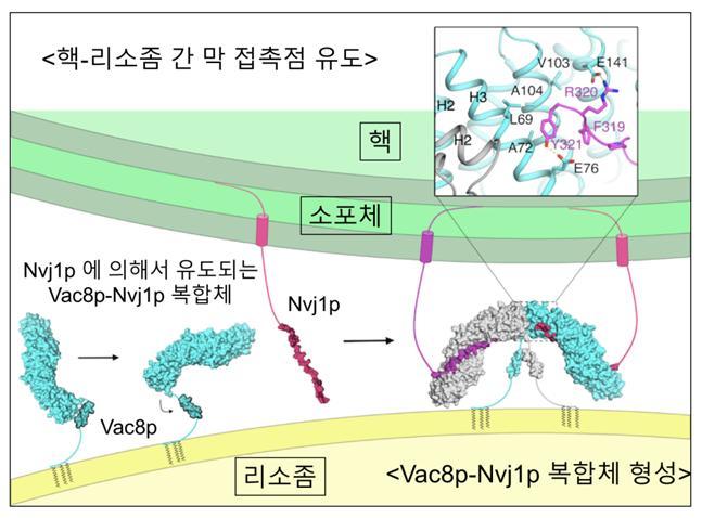 핵과 리소좀 막접촉점 형성 메커니즘을 보여주는 모식도