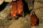 겨울잠을-자고-있는-붉은박쥐_문화재청-제공-1.jpg