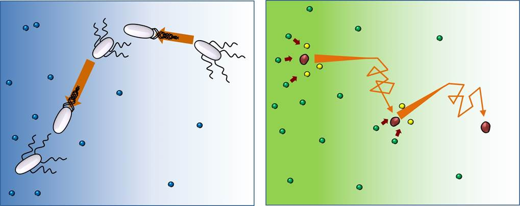 포도당 등 영양분(파랑)이 있으면, 박테리아(흰색)는 직진했다가 방향을 바꾸는 '달리기와 뒹굴기' 움직임을 반복한다. 효소(빨강)도 기질(녹색)이 있는 환경에서 같은 움직임을 보인다. 효소-기질 사이에 반응이 일어나면 기질이 생성물(노랑)으로 변하면서 효소는 '달리기와 뒹굴기'를 반복하면서 기질 농도가 낮은 곳으로 이동한다.