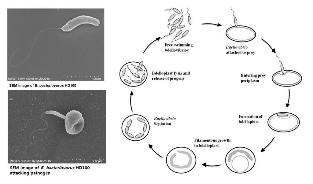 벨로가 다른 박테리아를 포식하는 과정. 내부로 침투한 벨로는 증식하며 박테리아를 제거한다. | 사진: 문원식 학생 제공