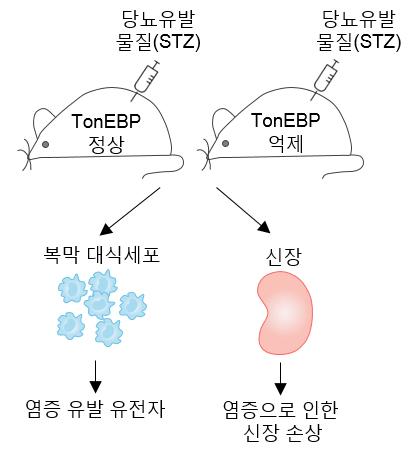 실험쥐에 당뇨병을 유발시켜 당뇨병성 신증을 유발하는 원인 유전자(TonEBP)를 찾아내는 과정