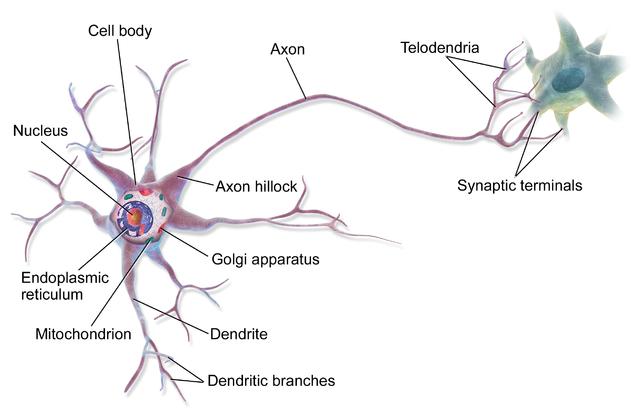 신경세포(neuron)의 구조, 다른 세포와 달리 가지처럼 길게 뻗어나가는 축삭돌기(axon)을 볼 수 있다. 이 부분은 코필린과 액틴의 상호작용으로 만들어진다. | 이미지 출처: 위키백과