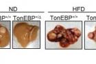 그림2_톤이비피-발현량에-따른-실험쥐의-간암-크기.jpg