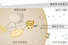 대사스트레스-세포대응-연구센터_참고-그림.jpg