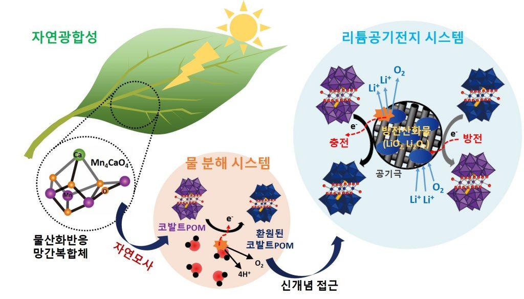 식물의 잎에서 광합성을 돕는 물 산화 반응 망간복합체를 모사한 폴리옥소메탈레이트를 리튬공기전지에 적용해 효율을 높였다.