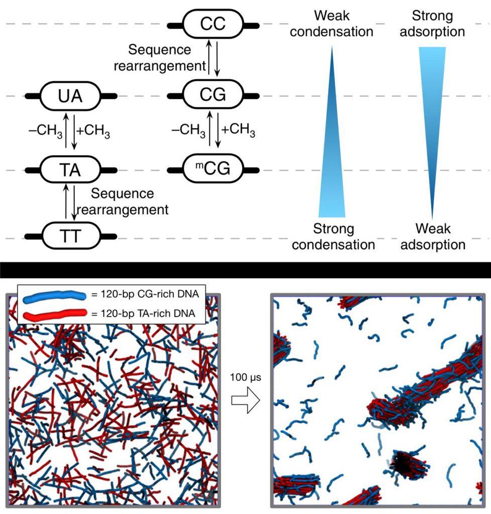 DNA 뭉침에 대한 설명과 시뮬레이션. DNA 염기서열에 따라 뭉치는 힘이 변하는 모습이 드러난다.