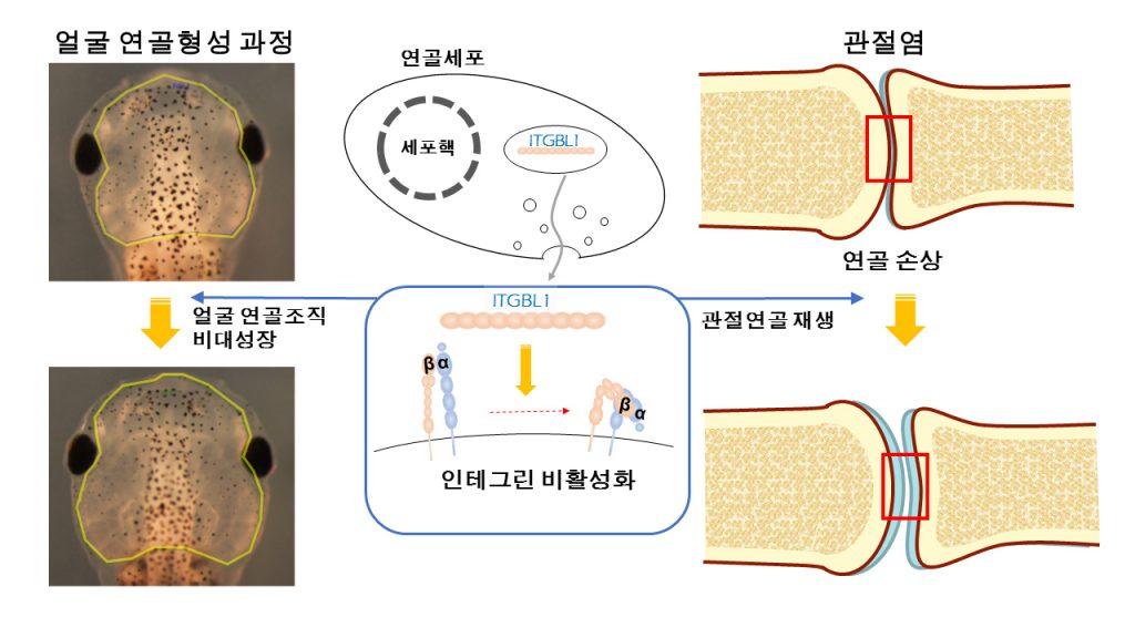 ITGBL1 유전자를 많이 발현시키면 인테그린 신호가 억제돼 올챙이 얼굴뼈가 커지고 관절 연골도 재생된다.