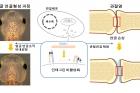 연구그림-ITGBL1-유전자를-많이-발현시키면-인테그린-신호가-억제돼-올챙이-얼굴뼈가-커지고-관절-연골도-재생된다.jpg