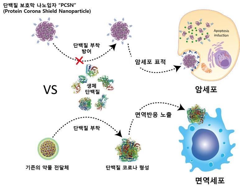 단백질 보호막을 가진 약물 전달체의 작동 모식도