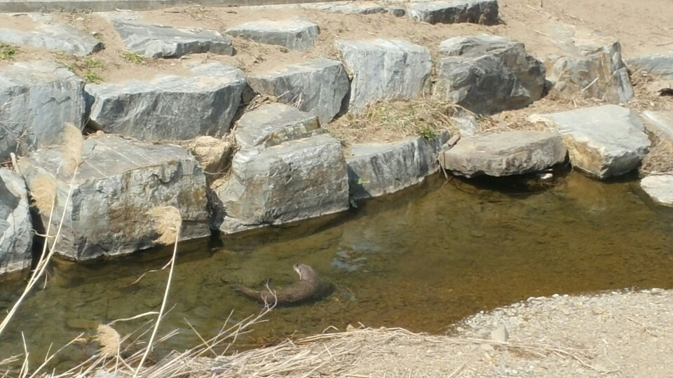 An otter is casually swimming around the Gamak Pond on campus.