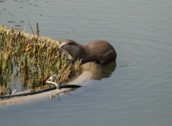 Wild River Otter Finds Home at UNIST