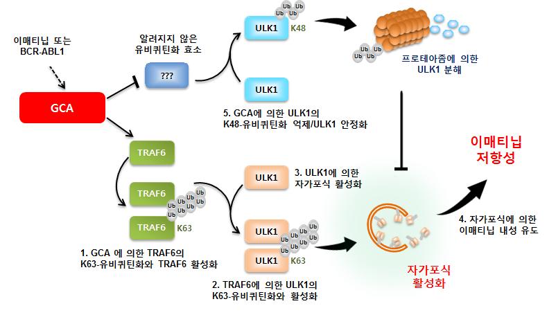 Professor Hongtae Kim, Gleevec-resistant gene image