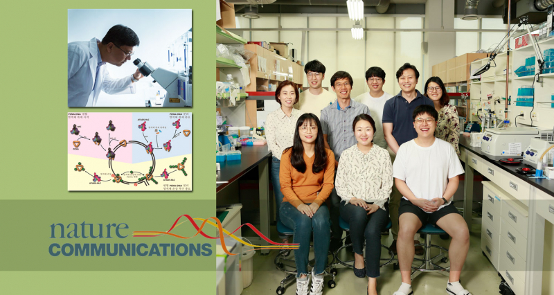 An Effective Sweeper Closes DNA Replication Cycling