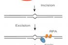 그림1틀린-짝-복구-메커니즘DNA-Mismatch-Repair.png