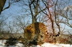 러시아-표범의-땅-국립공원-제공-아무르표범-사진2005_02.jpg