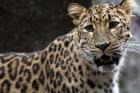 러시아-표범의-땅-국립공원-제공-아무르표범AmurLeopard.jpg