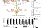 연구그림-유방암에-중요한-신호전달-경로와-이를-조절하는-마이크로RNA.jpg