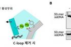 그림3-C-말단-루프-구조로-인한-공간적-제약이-EXD2-단백질의-금속-특이성-유도.jpg