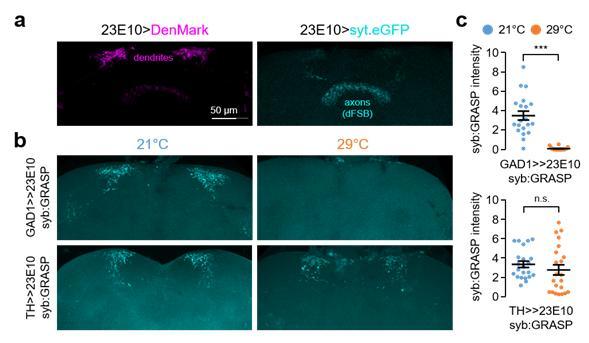 그림1. 기온 변화에 의한 '가바(GABA) 생성 신경세포'과 '수면촉진 신경세포(dFSB)' 간의 시냅스 가소성