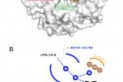 연구그림-탄산탈수효소의-3차원-구조와-활성부위-모식도-1.jpg