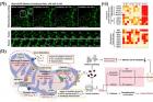 연구그림-개발된-물질-이용한-미토콘드리아-형태-변화와-세포사멸-메커니즘-제시.jpg