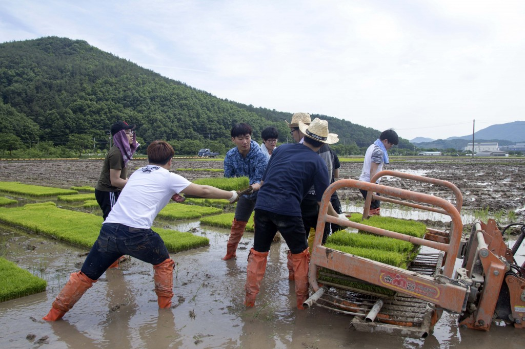 Student volunteers, carrying seedbeds of rice into the paddy at the rural community outreach project. [Photo Credit: Jin Woo Park from Studio INGAM]