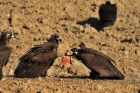 cinereous-vultures.jpg
