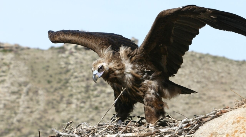 New Study Discovers Vulture's Scavenging Secrets
