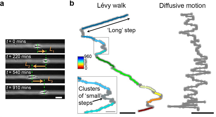 The Lévy-like movement patterns of metastatic cancer cells.