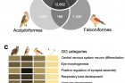 Relationship-of-birds-of-prey-to-other-avian-species..png